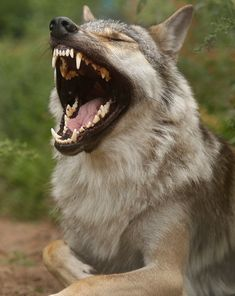 Wolves' teeth are so big they look photoshopped. Unfortunately they're not.