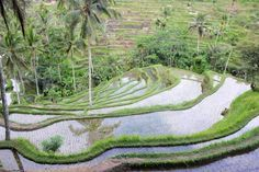 *Ubud is het culturele centrum van Bali. Je vindt er leuke winkeltjes, de mooiste rijstvelden en het eten is heerlijk. Wil je weten wat je in Ubud kunt doen?
