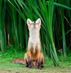 screenshot fox