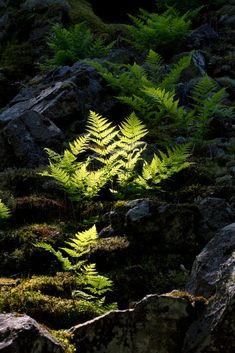 In the forest - Fern in Söderåsens nationalpark, Skåne (Sweden). By Niklas Hjelm