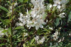 Deutzia La Deutzia gracilis è un arbusto ornamentale alto fino al massimo 1 metro. La Deutzia fiorisce di color bianco neve in maggio giugno. È possibile stimolare ulteriormente la fioritura normalmente potando i rami vecchi.