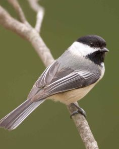 The Most Common Birds You'll See in Your Backyard—and One of the Rarest! - One of the cutest backyard birds is the black-capped chickadee (Poecile atricapillus). Pretty Birds, Beautiful Birds, Funny Bird, Bird Fountain, Black Capped Chickadee, Common Birds, Bird Bath Garden, Cult, Rare Birds