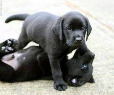 2 black lab babies playing. So cute!