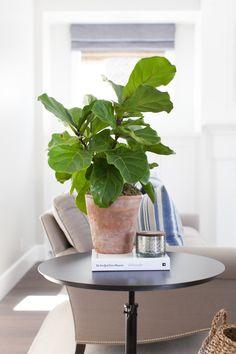 Little fiddle-leaf in simple terracotta pot.