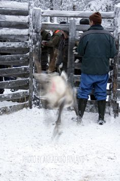 Of reindeer horror ! Poron kauhu... Poroerotuksessa Kuusamo Finland Photo Aili Alaiso Finland