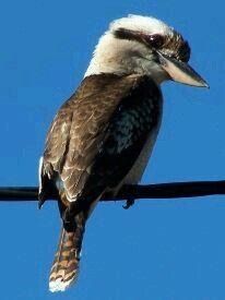 Cucaburra común (Dacelo novaeguineae). Se encuentra en Australia