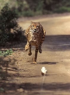 Fastest Mammal Cheetahs can run at speeds up to 70 mph.   Majani, a 2-year-old male African cheetah, exhibits lighting speed Friday, March 19, 2004 while chasing a mechanical rabbit at the San Diego Zoo's Wild Animal Park as part of the Park's environmental enrichment program. (Ken Bohn, San Diego Zoo / AP)
