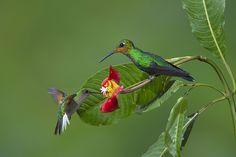 Hummingbirds ~