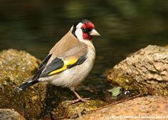 OUESSANT DIGISCOPING - Chardonneret élégant - European Goldfinch - Carduelis carduelis