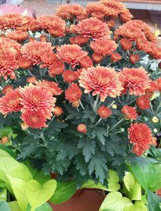 Chrysanthemums, Birth Flowers, Beautiful Flowers, Autumn, Plants, Fall Season, Chrysanthemum, Fall, Plant