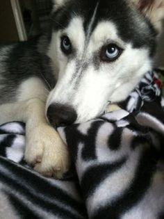 My Husky<3