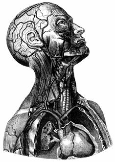 Vintage Human Anatomy Illustration classic, high resolution, old, retro, vintage #HumanAnatomyArt