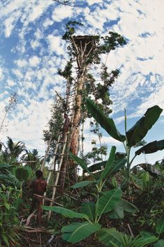 ack and the Beanstalk-esque treehouse, Indonesia