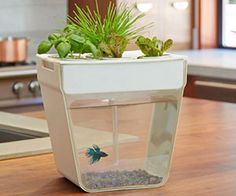 Someone buy this for me. Plant cleans water, fish poop feeds the plant. Awesome.