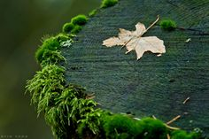 Of Moss Stumps And A Leaf by *nivaun on deviantART