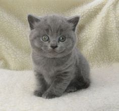 british shorthair breeders | gccf-reg-british-shorthair-kittens-for-sale-5267f6884a9fa.JPG