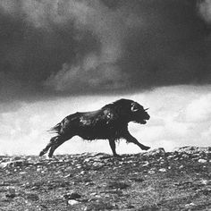 A musk ox running in the Arctic tundra - Canada, in 1954. (Fritz Goro—The LIFE Picture Collection/Getty Images) #wildLIFEwednesday