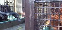 """""""O GRITO DO BICHO"""": Um orangotango prisioneiro divide seu alimento com..."""