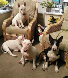 English Bull Terrier Herd