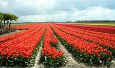 This is the last part of a travel series on Holland, including how to travel to Holland, the Dutch culture, Dutch lifestyle, Dutch environment and 25 April, 5 Mei, Holland, Vineyard, Environment, Facts, Travel, Outdoor, Tulips