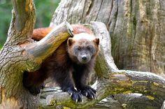 Wolverine (by Susanne Davidson) Wolverine Images, Wolverine Animal, American Bull, Bully Dog, Honey Badger, Wolverines, Black Bear, Otters, Animal Kingdom