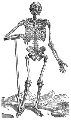 """Science & Medicine - line art (Medical) Anatomy Illustration of a human skeleton, showing the major muscle groups, by Andreas Vesalius of Brussels, Belgium. This image was published in his landmark """"De Humani Corporis Fabrica"""" (The constru Stoc Skeleton Photo, Funny Skeleton, Human Skeleton, Skeleton Bones, Halloween Coloring Pages, Coloring Pages To Print, Coloring Pages For Kids, Anatomy Coloring Book, Coloring Books"""