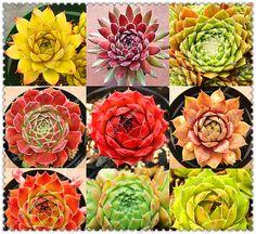 100pcs/bag Rare Sempervivum Mix Succulent Seeds,bonsai flower seeds for home garden