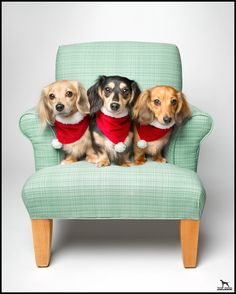 Dogs in chair