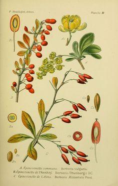 img / drawings trees shrubs / trees and shrubs 0047 drawings thorn common barberry - Berberis vulgaris.jpg