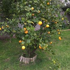 Our lemon tree! Anyone know when the best time is to give it a decent prune ? It's really 'leggy'.. Lol .. You know what I mean ! #gardening #gardeningtips #pruning #pruninghelp PLEASE !  #lemontree by jain323