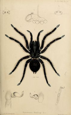 On a new spider of the family of Theraphosidae