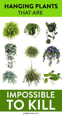 absolute best list of practically invincible indoor hanging plants that you can't kill no matter how hard you try.The absolute best list of practically invincible indoor hanging plants that you can't kill no matter how hard you try. Inside Plants, Cool Plants, Green Plants, Mint Plants, Full Sun Plants, Low Light Plants, Summer Plants, Hanging Plants Outdoor, Best Indoor Plants