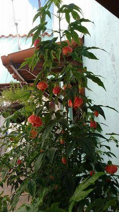 LANTERNINHA CHINESA, Callianthe Striata, assusto com ramos compridos e inclinados para baixo, até 2m de altura, arvoreta ou maciços ao longo de muros, sol pleno