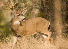 Blacktail deer hunting