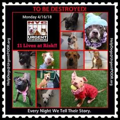 ***11 LIVES TO BE DESTROYED 04/16/18 @ NYC ACC***SO MANY GREAT DOGS ARE BEING KILLED: Puppies, Throw Away Mamas, Good Family Dogs. This is a HIGH KILL care center w/ poor living conditions . View tonight's list here: https://newhope.shelterbuddy.com/Animal/List and https://www.facebook.com/ACC.OfficialAtRiskAnimals/ Dogs