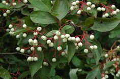 Cornus Racemosa (up to 12'); Pink/red fall color. Good if proximate to Heptacodium..