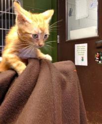 Felix is an adoptable Domestic Short Hair Cat in Prattville, AL.  Felix is a 6 week old orange tabby kitten. He is new to the shelter so he is still very shy. He is quiet but friendly. He is still gr...