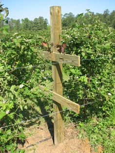 t-trellis for berries, lowest wire 3 ft tall, highest 5 ft tall Garden Yard Ideas, Organic Gardening, Blackberry Trellis, Growing Succulents, Fruit Garden, Fruit Trees, Organic Gardening Tips, Growing Blackberries, Trellis System