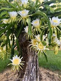 Dragon Fruit Pitaya
