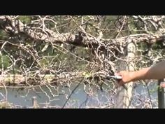Dr. Arlie Powell - Muscadine Prunning - YouTube
