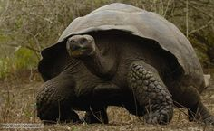 The Galápagos tortoise is the longest-lived animal on earth, with a life span of more than 150 years.