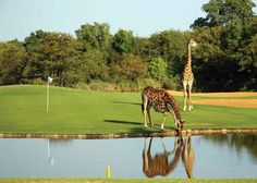 game of golf – sharing the green with #Africa untamed wildlife