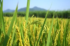 Rice Plant: This 'living water' contains the skin-benefiting minerals calcium, sodium, magnesium, and potassium. Its active antioxidants cool and rebalance skin, making it ideal for combination skin types.