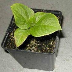 Vše co se týká hortenzie(pěstování, zazimování, množení). Množení Hortenzií provádějte řízkováním! V březnu až dubnu se hortenzie množí řízkováním. Řízky z nekvetoucích maldých kořenových výhonů zasaďte do směsi z rašeliny a písku v poměru 1:1. Teplota prostředí k množení by měla dosahovat patnácti až osmnácti stupňů Celsia. Zakoření přibližně za tři týdny. Indoor Plants, Cabbage, Flora, Home And Garden, Vegetables, Koi, Hydrangeas, Gardening, Heart
