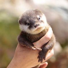 Vidra ( Otter ),Ovi preslatki mladunci su maleni paketići sreće koji stanu na dlan. : Vidra ( Otter ),Ovi preslatki mladunci su maleni p...
