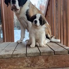 Cute Dogs And Puppies Gentle Giant Cute Dogs And Puppies, Big Dogs, I Love Dogs, Doggies, Cute Funny Animals, Cute Baby Animals, Funny Dogs, Beautiful Dogs, Animals Beautiful
