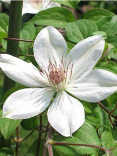 Perennial: 'Henryi' clematis - Canadian Gardening