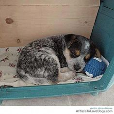 Some Helpful Ideas For Training Your Dog. Loving your dog does not mean you are willing to let him go hog wild on your possessions. That said, your dog doesn't feel the same way. Australian Cattle Dog Puppy, Austrailian Cattle Dog, Aussie Dogs, Cute Puppies, Cute Dogs, Dogs And Puppies, Doggies, Cute Dog Collars, Cute Baby Animals