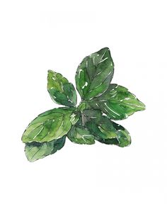 BASIL - watercolor illustration by Good Objects