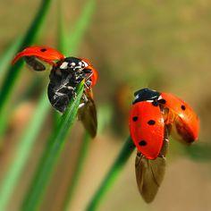 2 ladybugs on grass